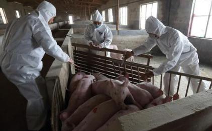 韩国非洲猪瘟疫情最新消息:已确诊13例非瘟疫情,野猪也中招