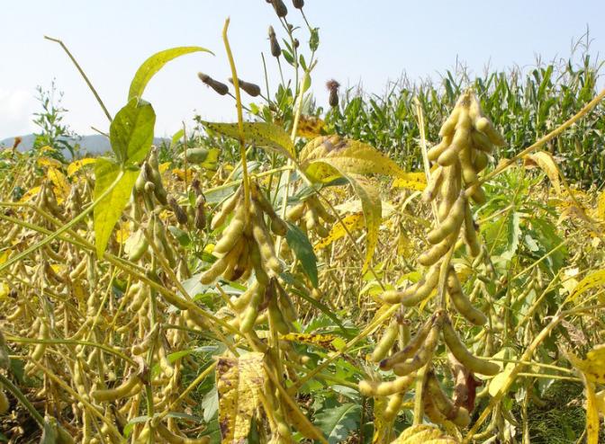 10月5日全国豆粕价格行情表,北京豆粕价格逆势上涨,日涨幅120元/吨