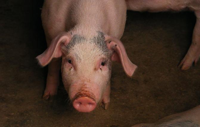 10月5日全国各省市仔猪价格报价表,广东养猪地区仔猪价格每公斤在百元以上