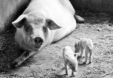母猪产后低血钙症的预防与治疗措施