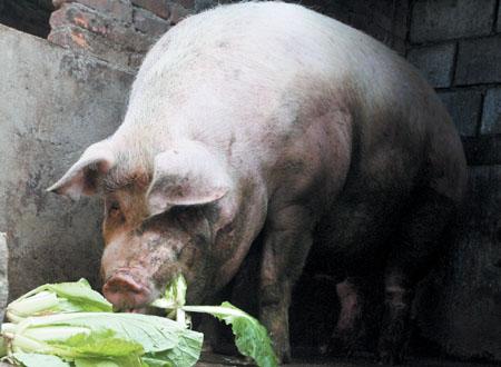 美媒:中国农场开始养更大的猪