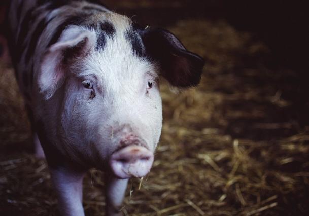 10月8日全国生猪价格内三元报价表,天津猪价日涨幅4.6元/公斤