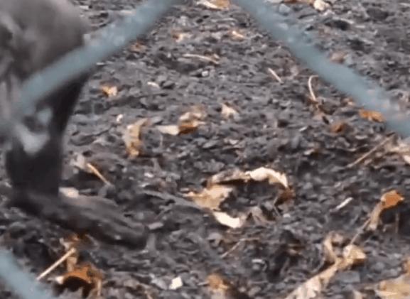 生态学家拍下野猪用棍棒挖窝筑巢视频 首次证实猪会使用工具