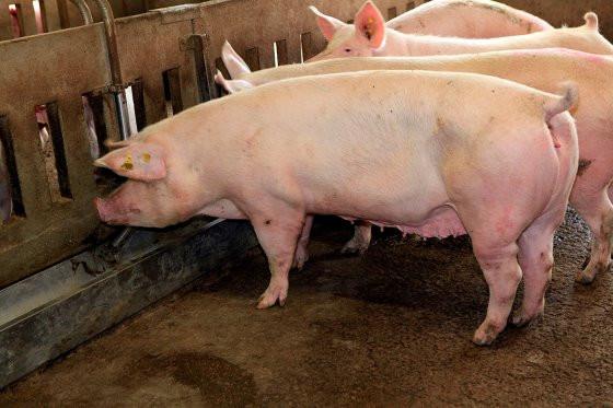 育肥猪料槽