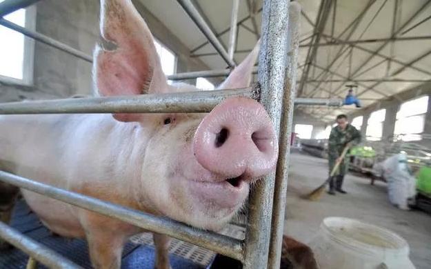 十月猪价超预期上涨的原因:养大猪留种等因素短期影响