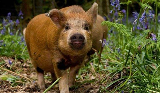 猪价涨势惊人的背后,并非只是猪源紧张,还有...