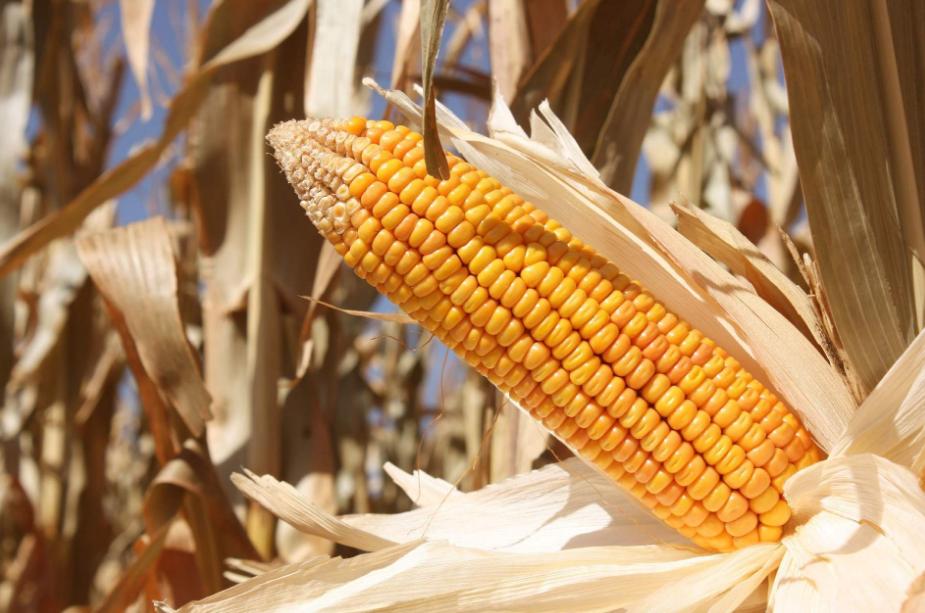 10月9日全国玉米价格行情表,玉米价格呈现正常小幅波动