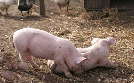 10月9日全国各省市仔猪价格报价表,广东仔猪价格高位运行久居不下