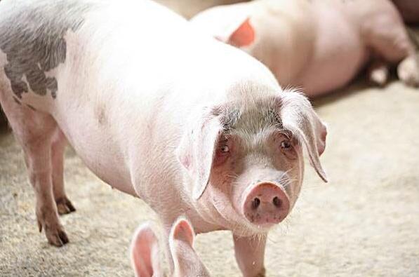10月9日全国生猪价格土杂猪报价表,今日猪价除上海外全国都在上涨