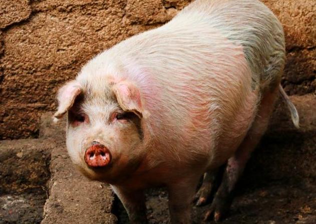 10月9日全国生猪价格内三元报价表,内三元猪价破30元地区增多