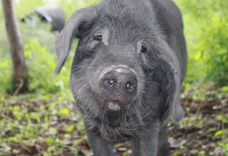 浦北人养黑猪历史悠久 走亲访友人手不离黑猪肉