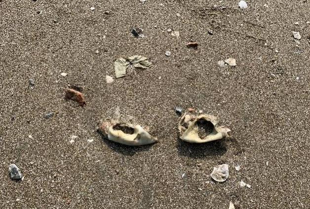 深圳沙滩突现大量腐烂发臭猪耳朵 官方:初步判断外海漂入并滞留