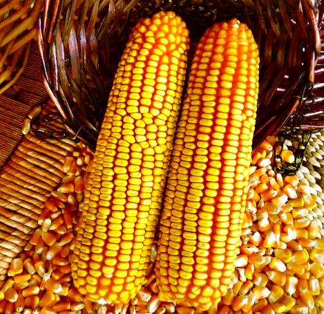 10月10日全国玉米价格行情表,玉米价格低位运行已经触底