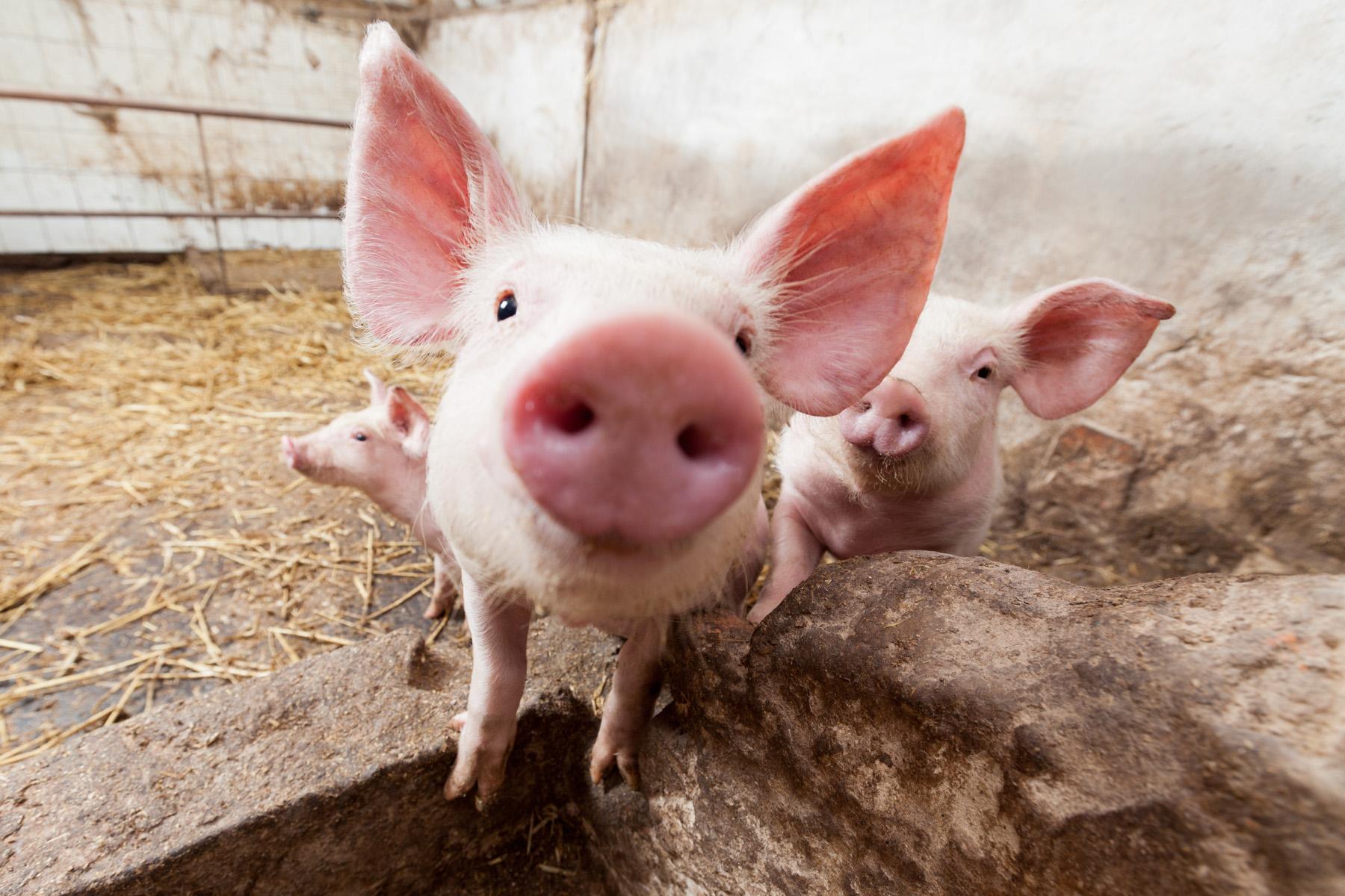 10月10日全国各省市仔猪价格报价表,广东仔猪价格再涨至新高