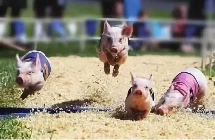 江西两家养猪龙头企业生猪上市目标:今年总和近八百万