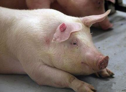 10月10日全国生猪价格外三元报价表,多省市猪价突破35元大关