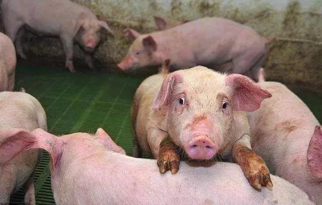 猪场几种表现