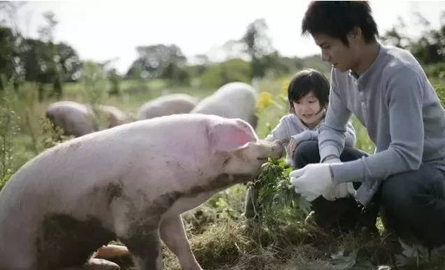 一例大约克母猪肢体病的调理建议!