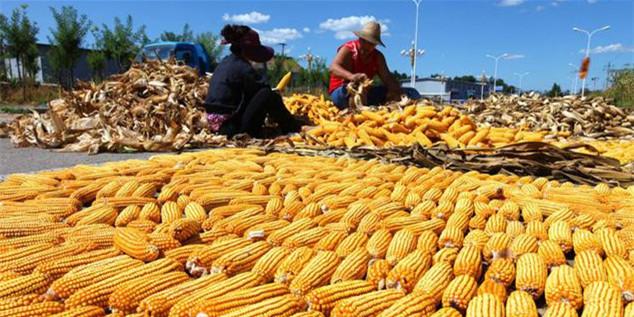 10月11日全国玉米价格行情表,玉米价格将长期保持低迷波动