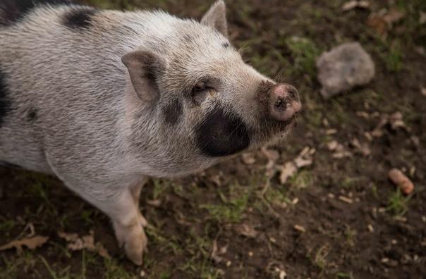 10月11日全国生猪价格内三元报价表,内三元猪价进入快速上涨区
