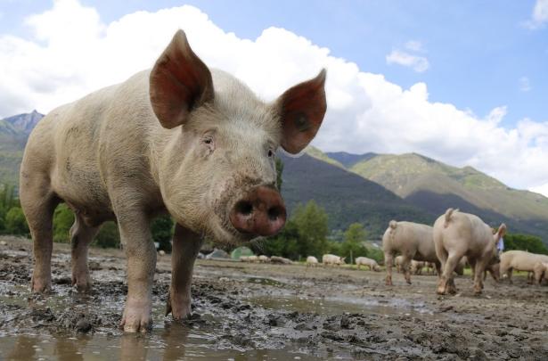 10月11日全国生猪价格外三元报价表,黑龙江生猪价格暴涨一举超越广东