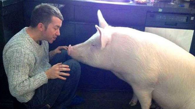长大的宠物猪