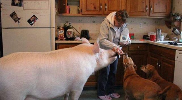 猪和其它宠物