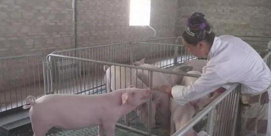 关岭县木厂村:生猪养殖拓宽致富路,家门口就能挣钱
