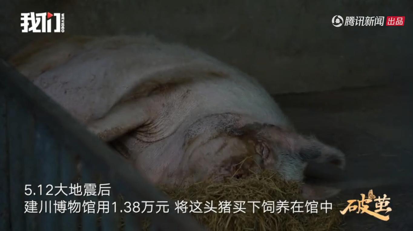 猪坚强12岁了,相当于人类80岁高龄,步履阑珊已经走不动了