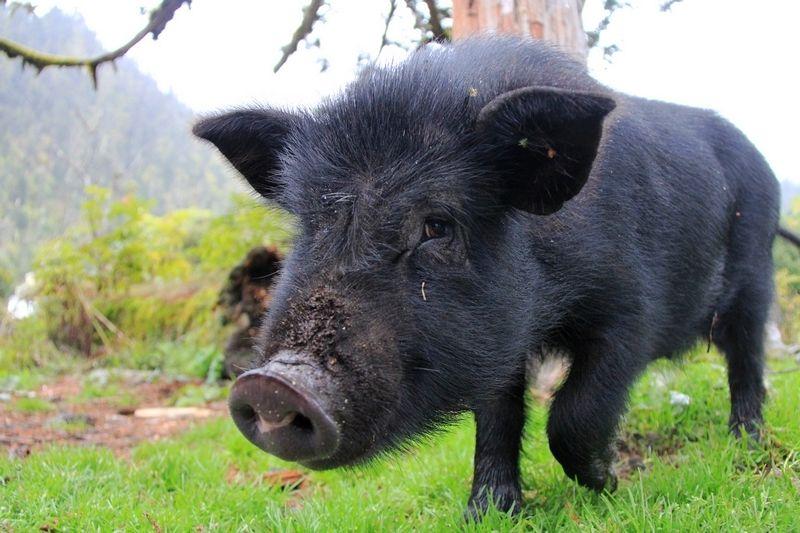 内蒙古双荣村发展养猪业壮大集体经济 藏香猪存栏达390多头