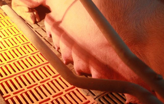 母猪就是猪场的印钞机,母猪的产后护理工作决定猪场经济效益