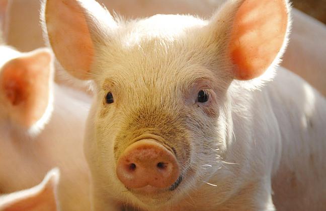 牧原股份加码养猪业 最新消息拟在全国10地设立子公司
