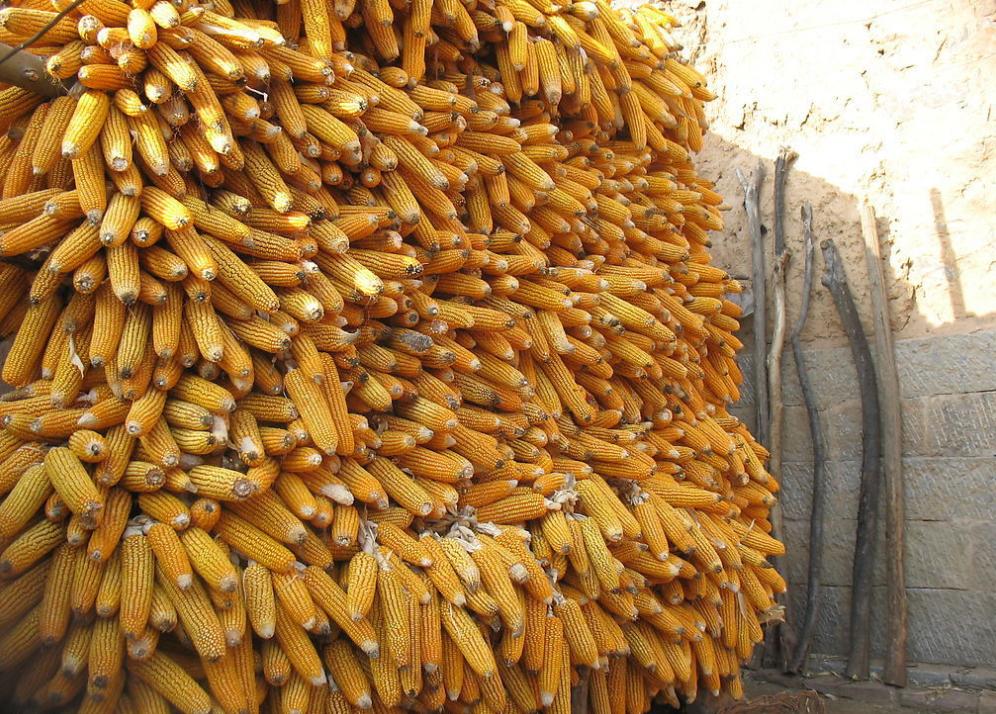 10月12日全国玉米价格行情表,贵州玉米价格下跌,江西玉米价格上涨