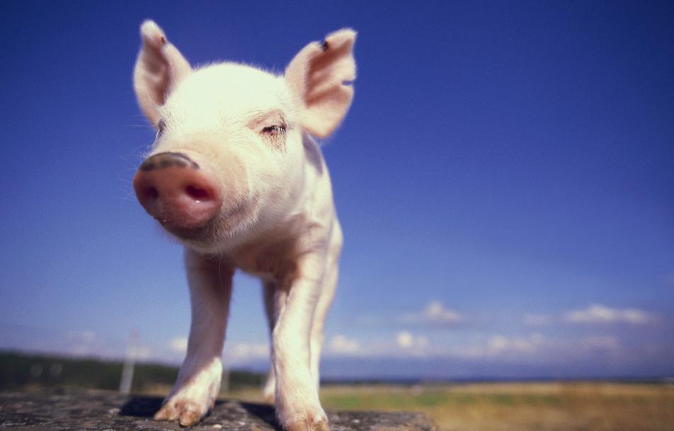 10月12日全国各省市仔猪价格报价表,云南仔猪价格开始回暖