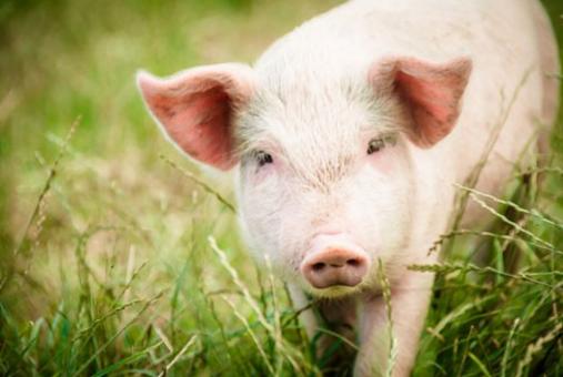 10月12日全国生猪价格土杂猪报价表,今日涨幅较昨日收窄