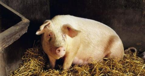 10月12日全国生猪价格内三元报价表,内三元猪价全线飘红