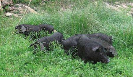 生猪养殖板块迎业绩兑现期 机构看好一线龙头企业