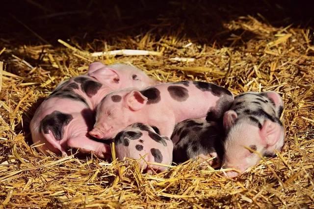 10月13日全国生猪价格土杂猪报价表,全国继续全线上涨