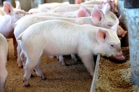 秋冬季节仔猪常见呼吸道疾病的防控