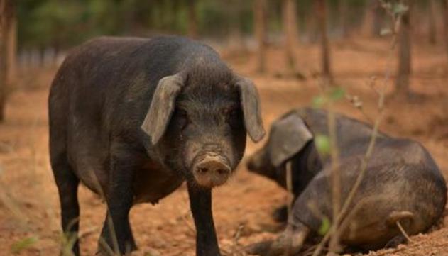 追忆四十年前部队农场养猪往事:采青饲料打猪草如火如荼