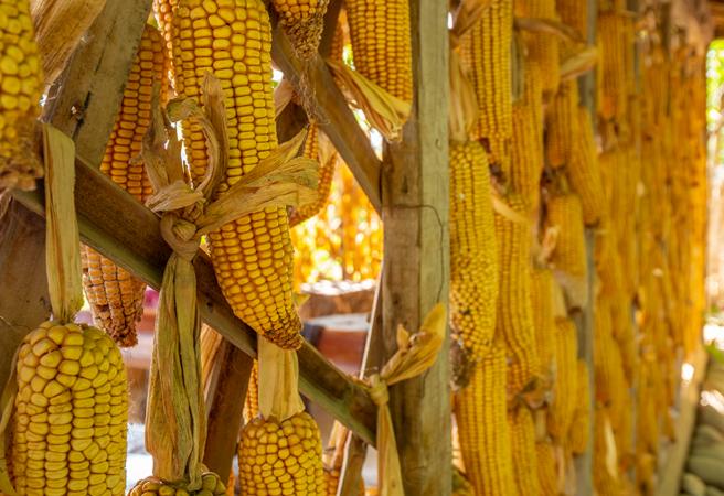 10月14日全国玉米价格行情表,玉米价格处于小幅震荡