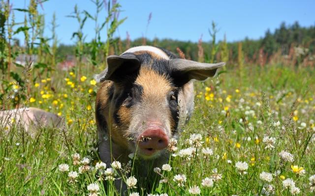 10月14日全国各省市仔猪价格报价表,仔猪均价总体拉升