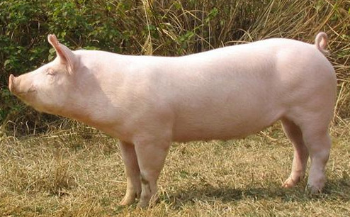 统计局:2019年10月上旬生猪价格创记录新高 环比上涨16.2%