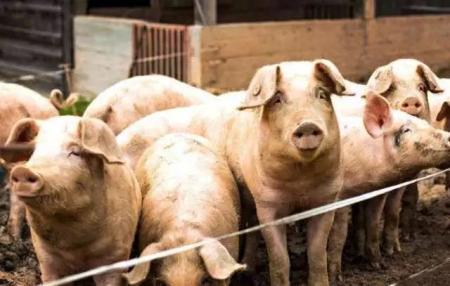 国内外猪场非洲猪瘟的临床表现