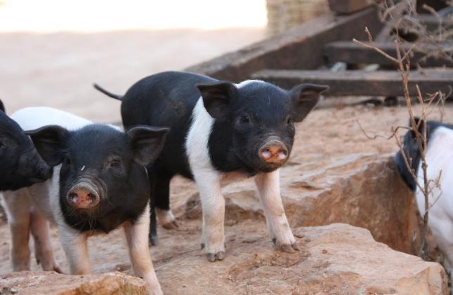 10月15日全国各省市仔猪价格报价表,仔猪价格保持高位运行