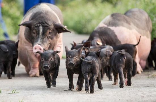 壹号土猪参与中国黑猪肉标准发布会 重新定义中国黑猪肉标准
