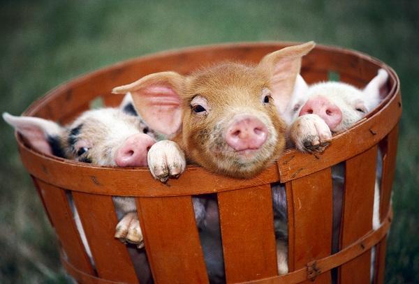 三问克隆猪,克隆猪的意义或许和你我想的不一样