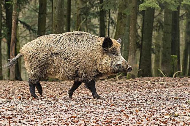 非法捕食野猪当野味 利川一人非法狩猎被判拘役4个月