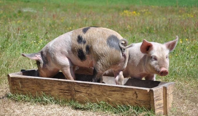 10月16日全国各省市仔猪价格报价表,河北滦县土杂仔猪价格全国最低