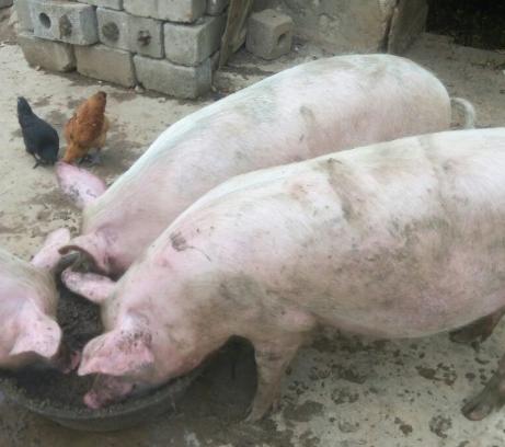 10月16日全国生猪价格土杂猪报价表,土杂猪价格下跌区域增多